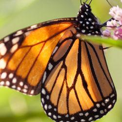 Restoring Monarch Butterfly Habitat