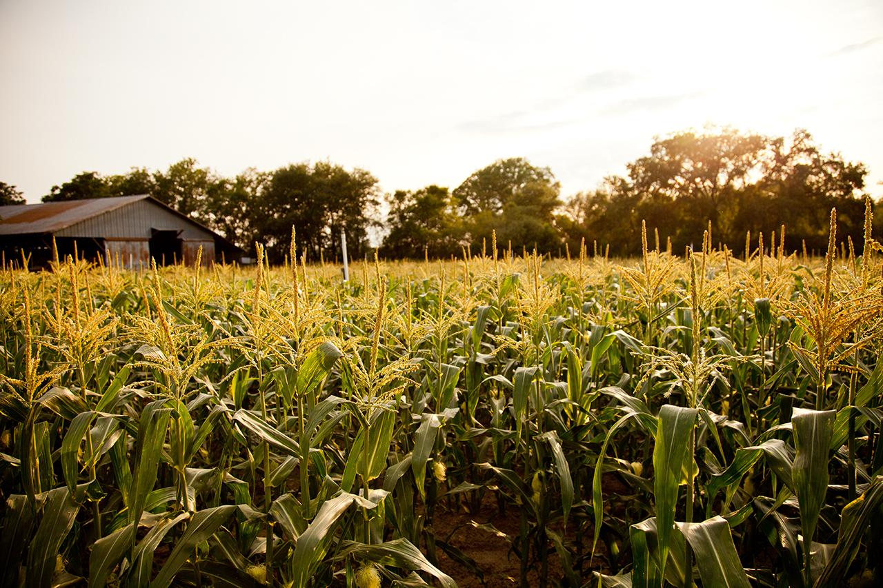 Corn_SEM_OPF_General_CornfieldSunset_002