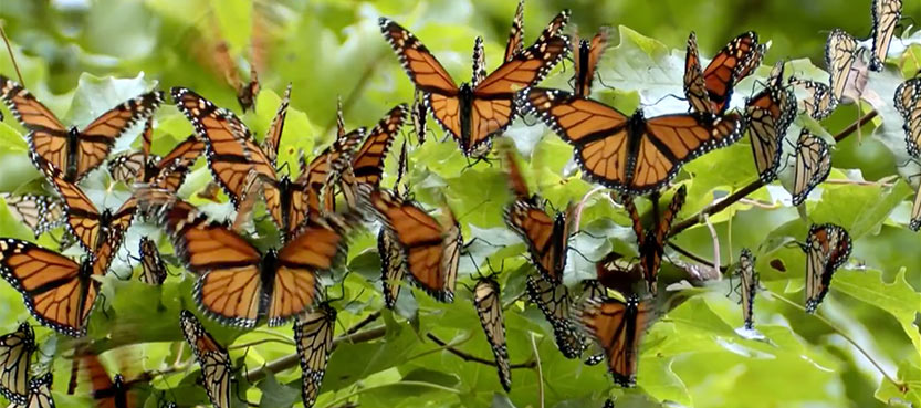 Monarch_habitatDesktop