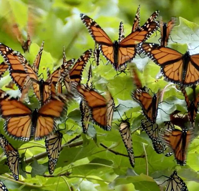 Monarch_habitatMobile