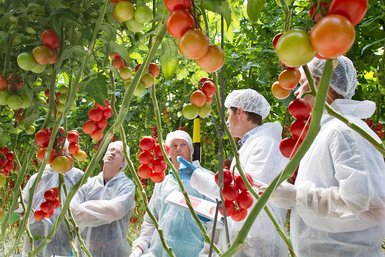 Tomato_DR_GLS_General_LivingProofGlasshouse_004