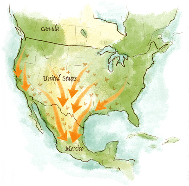 Monarchs migrate from the Midwestern US to Mexico