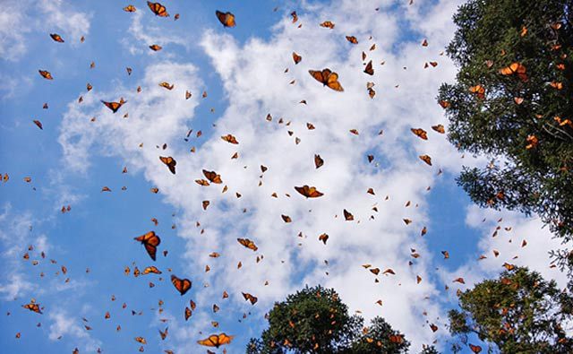 Many Monarchs migrate