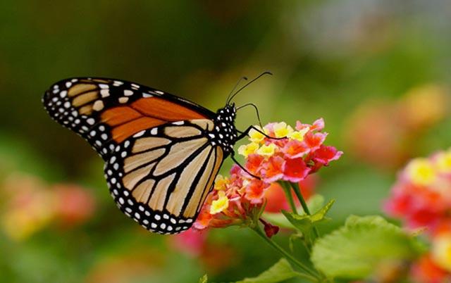 Monarch eating nectar