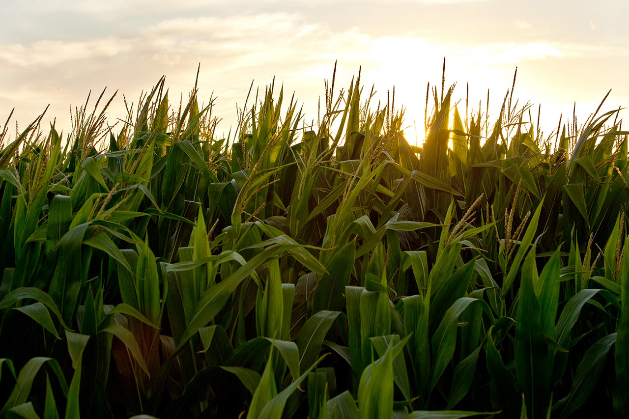 Corn_RC_OPF_General_CloseUpCornStalksAtSunset_001