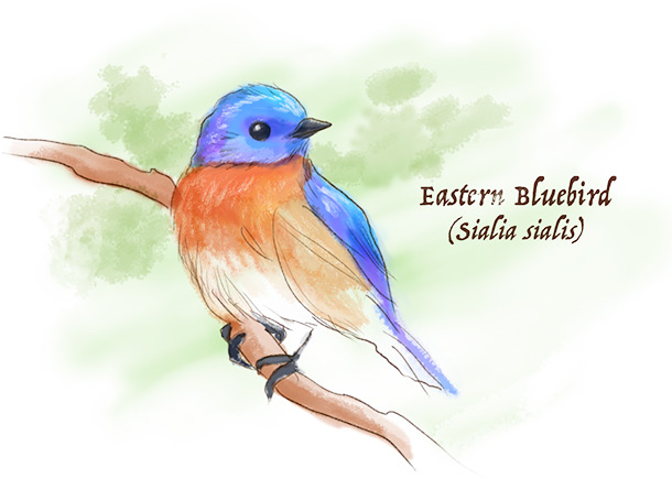 Illustration of the Eastern Bluebird