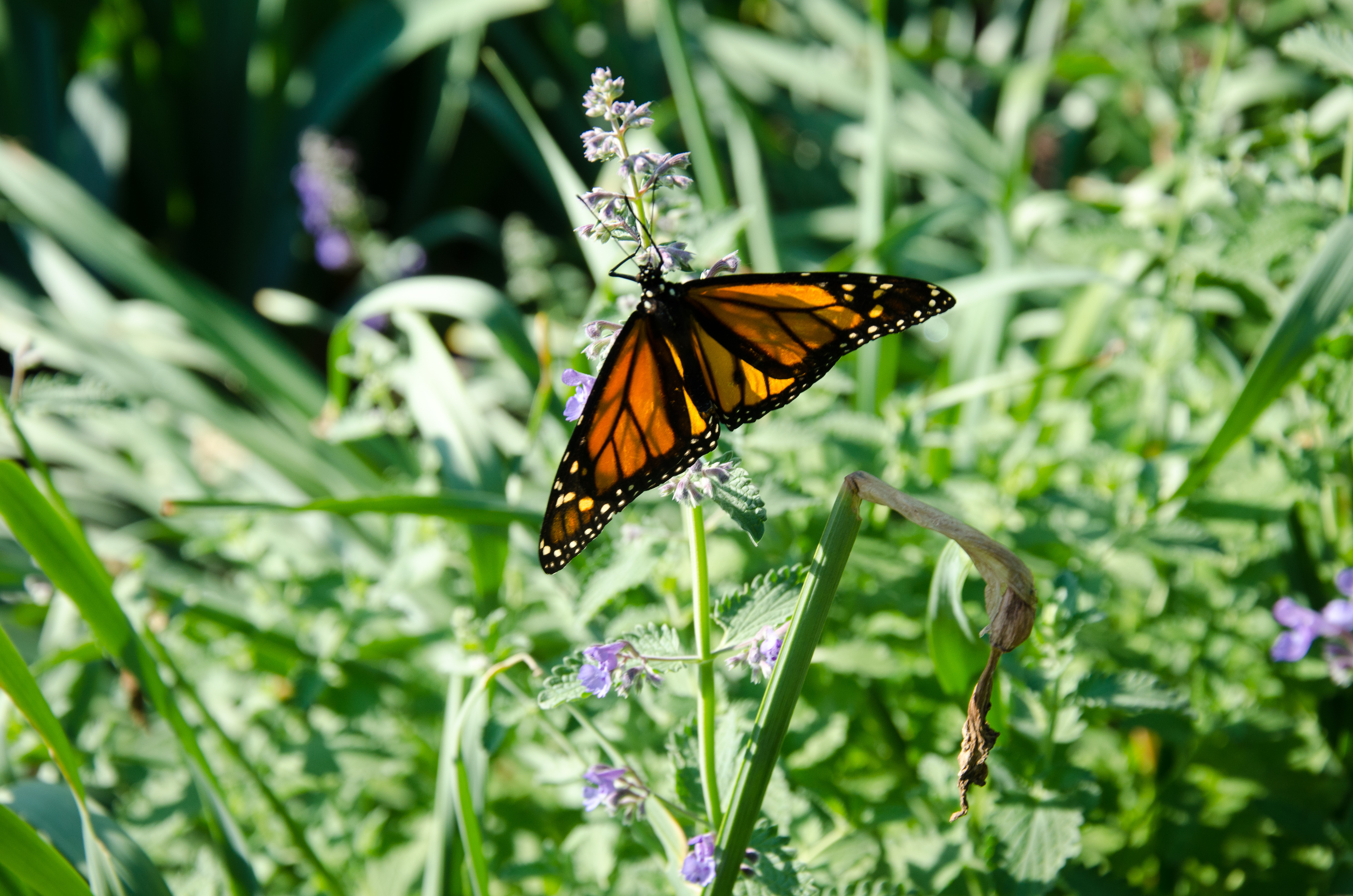 Butterflies are responsible for pollinating many wildflowers.