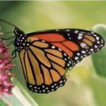 monarch_square